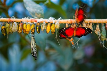 Stock photo of two butterflies emerging from a row of cocoons